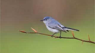 Blue-Gray-Gnat-Shawnee