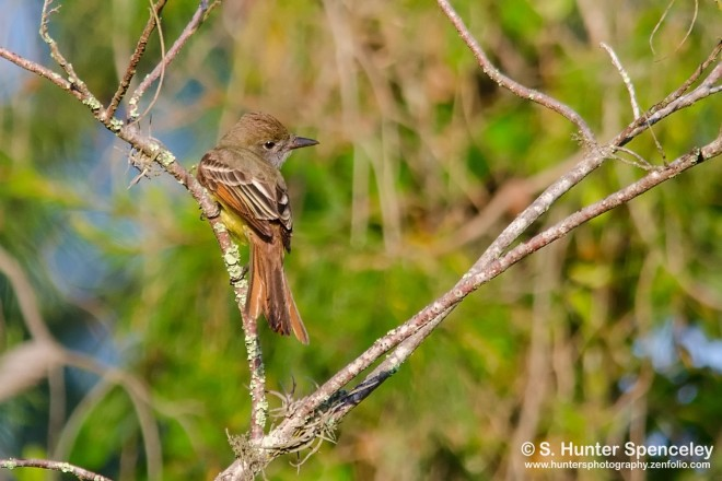 DSC0006-Great-Crested-Flycatcher