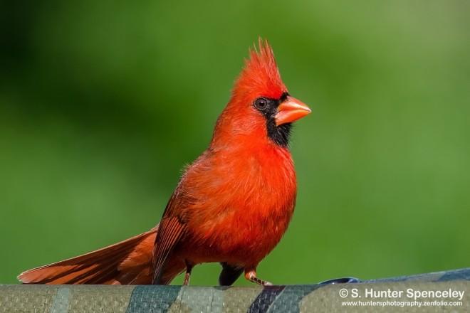 DSC0013-Northern-Cardinal