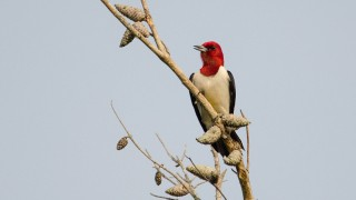 DSC0028-Red-headed-Woodpecker