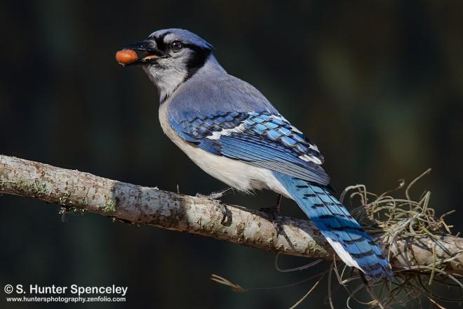 DSC0108-Blue-Jay