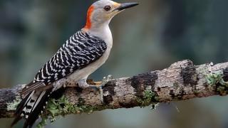 DSC0116-Red-bellied-Woodpecker