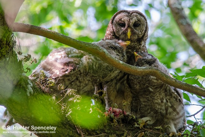 DSC0121-Barred-Owls