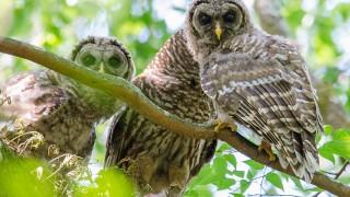 DSC0144-Barred-Owls