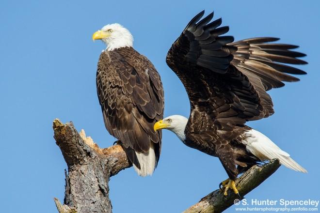 DSC0161-Bald-Eagles