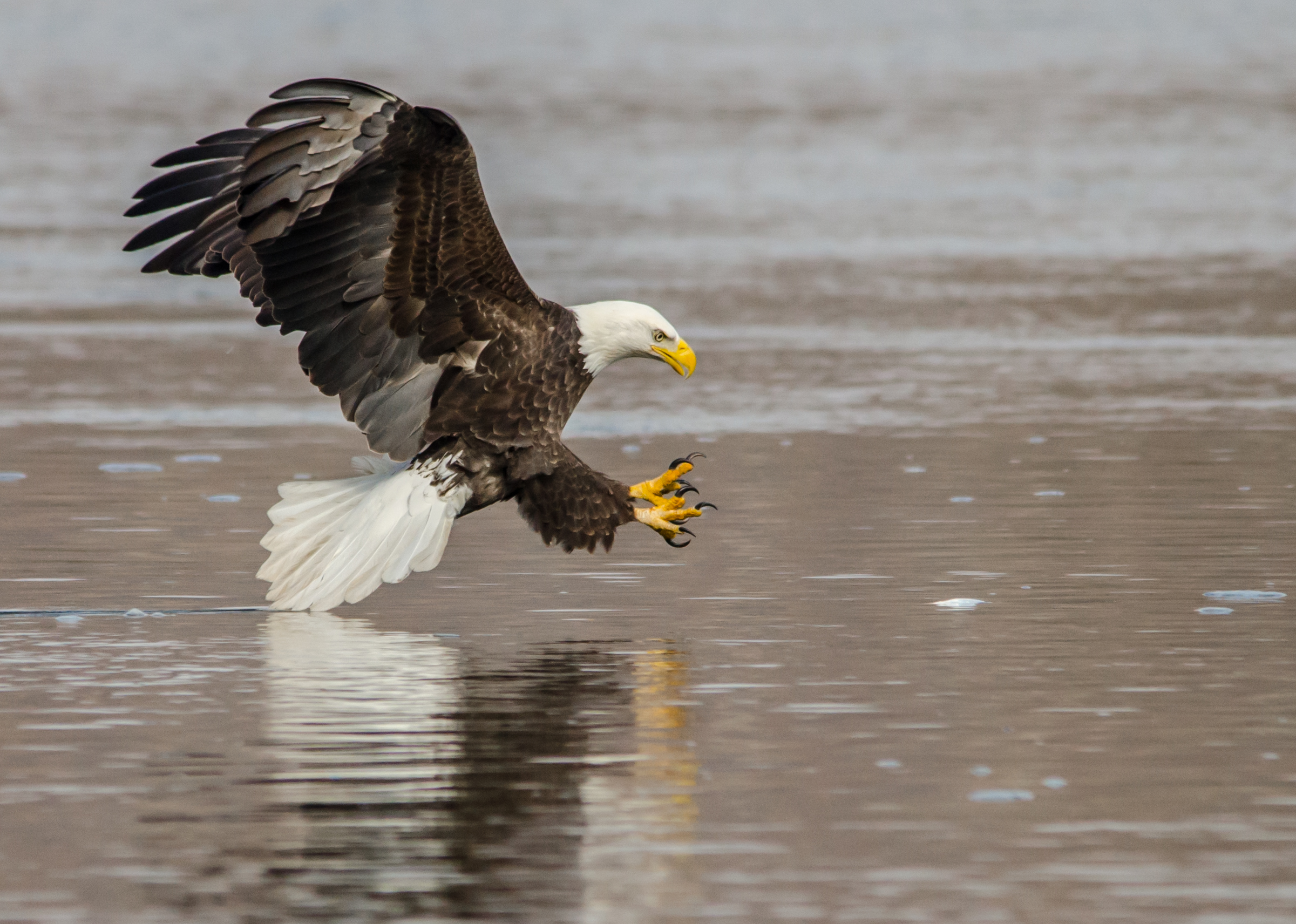 Julie Craves explains why Bald Eagles swim