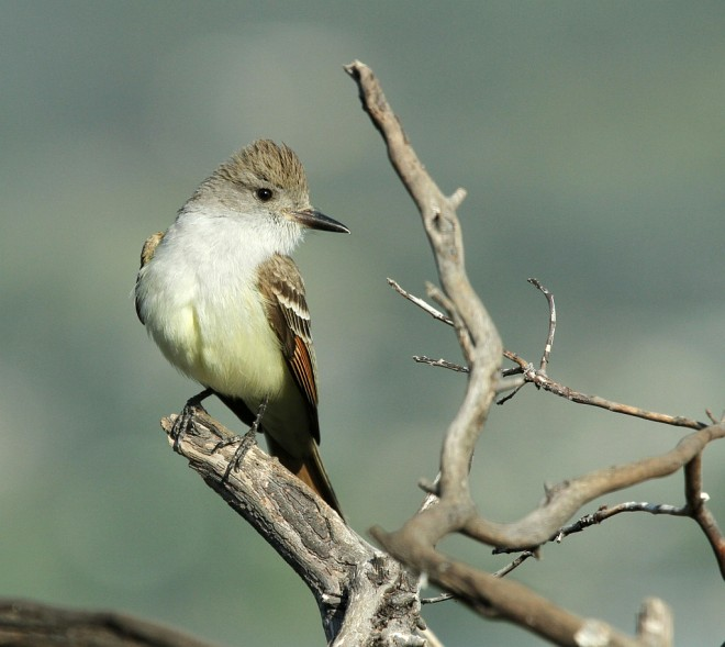 Flycatcher-Ash-throated-2014-04-19-005