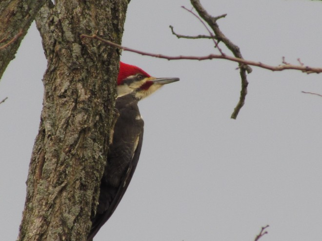 Pileated.Sage-Rd