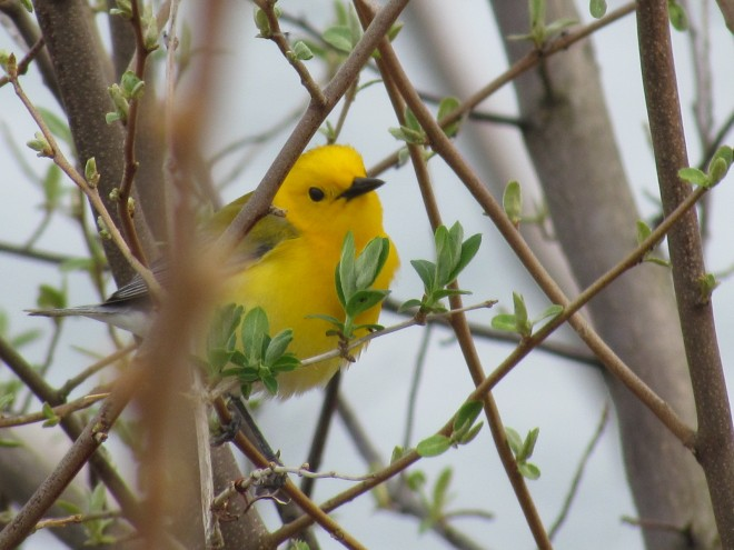 Prothonotary-Warbler