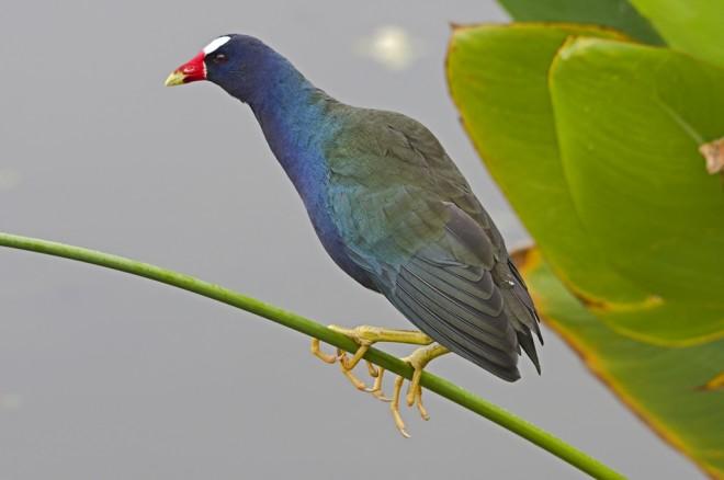 PurpleGallinuleOnFireflag2