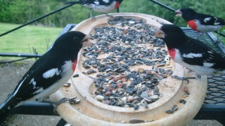 Rose-breasted Grosbeaks at a backyard feeder in Nashville, Tennessee, April 27, 2014. Photo by Benni Mitchell.