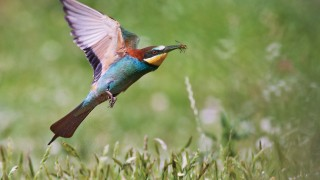 bee-eater-with-prey1