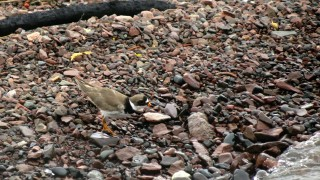 131-Birds-365-Semipalmated-Plover-4