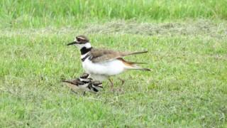 147-Birds-365-Killdeer-and-Chicks-1