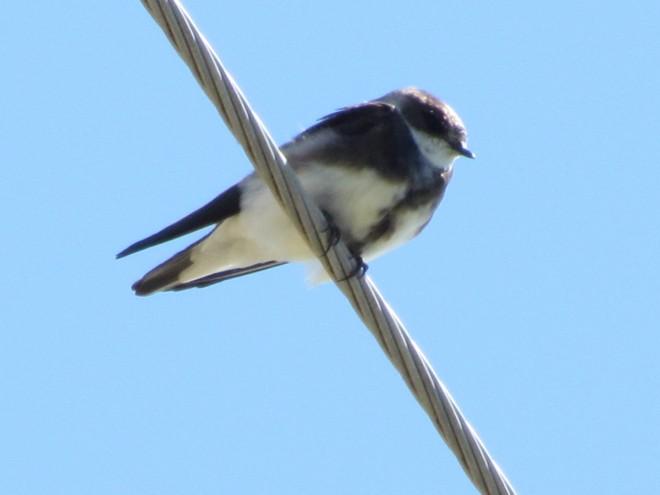 Bank-Swallow