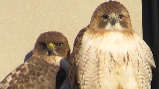 Buzz and Ruby - Red-tailed Hawks, near Alewife, Cambridge, MA