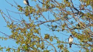 EasternKingbirdsCM