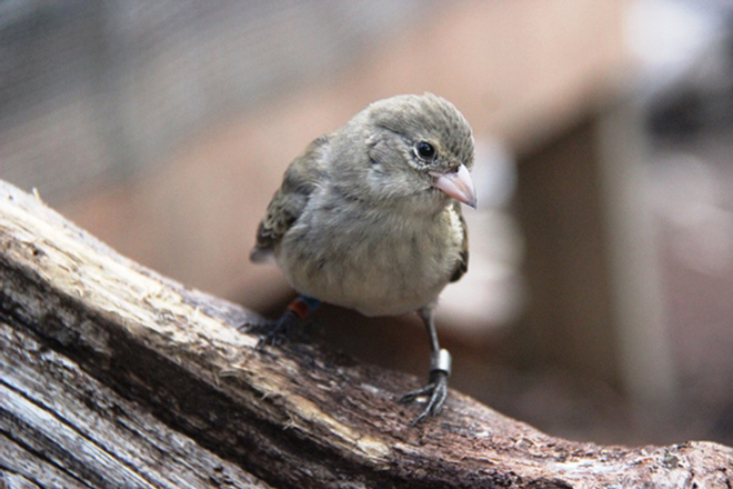 Fortunes improve for the most threatened bird species in the Galápagos