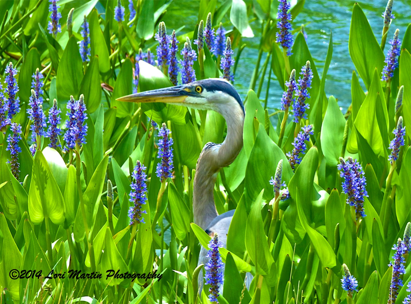 Reader photo: Tall blossoms and a cooperative heron produce a memorable shot