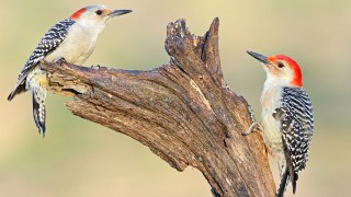 Red-bellied-Woodpeckers