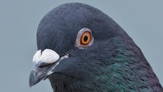 Laura Erickson tells why you shouldn't feed pigeons