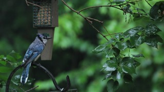 Soaked-Blue-Jay-06-08-14