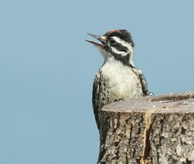 Woodpecker-Nuttalls-juv-2014-05-31-176a