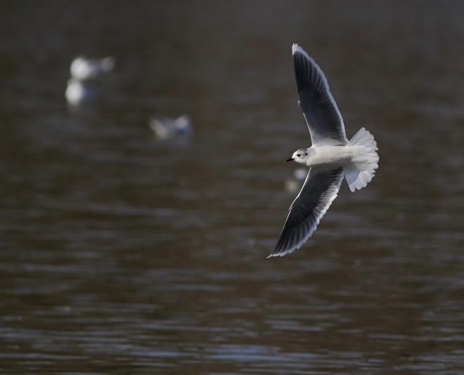little-gull-2