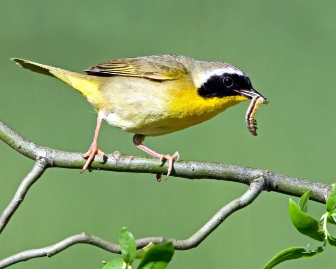 yellowthroat