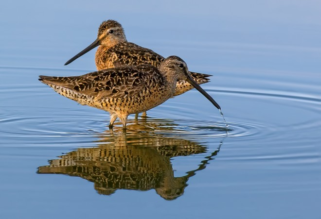 Long-billed Dowitchers. Photo by Brent Bremer
