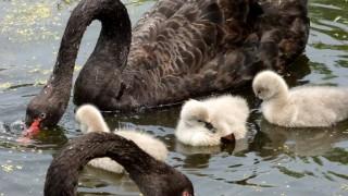 Black-Swans-sharp-sm