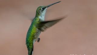 DSC0011-Ruby-throated-Hummingbird