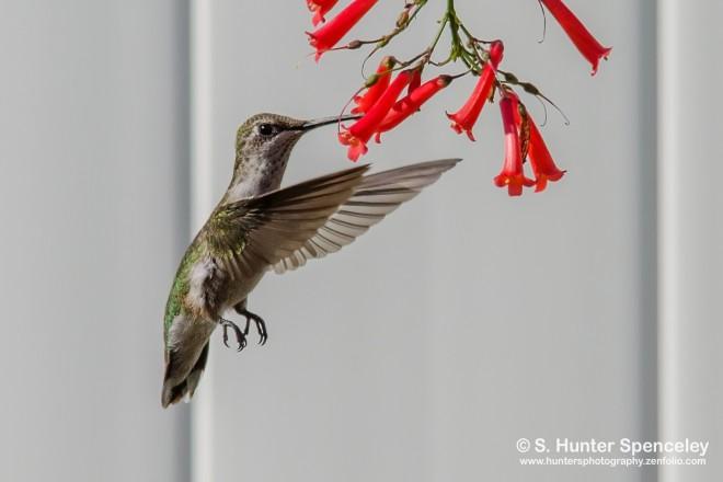 DSC0018-Ruby-throated-Hummingbird