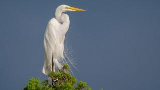 DSC0194-Great-Egret