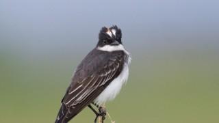 Eastern-Kingbird-5