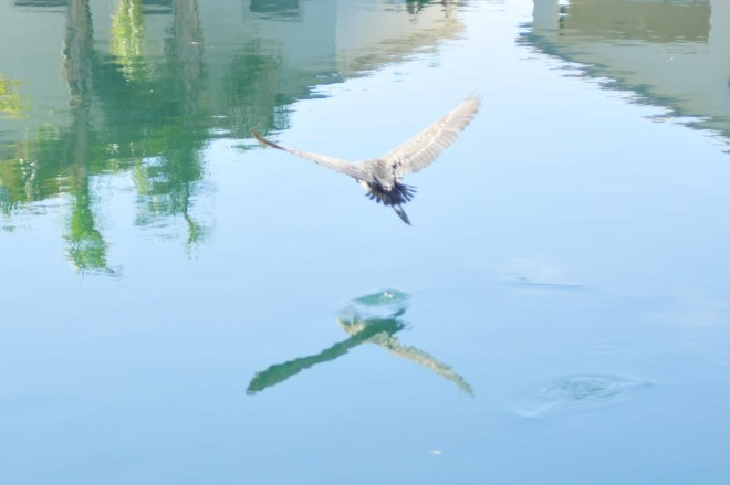Great-Blue-Heron-Reflections
