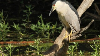 Heron-Black-crowned-Night-2014-07-22-120