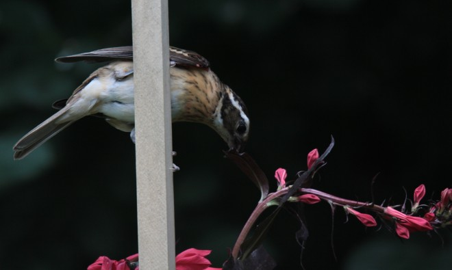 Immature-Male-Rose-breasted-Grosbeak-07-27-14-02