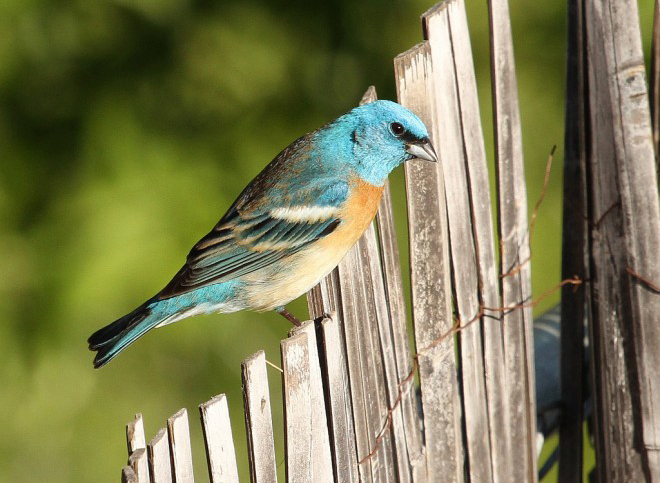 eBird maps show late-summer migration of beautiful Lazuli Bunting