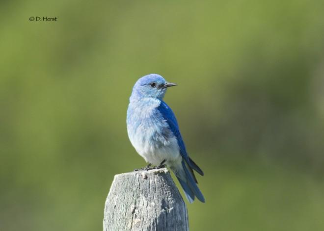 Mountain-Bluebird-02