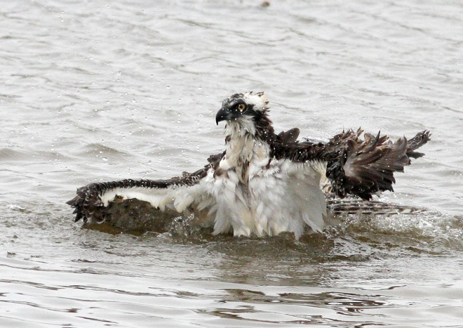 Osprey-Bathing_4758