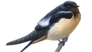 David Sibley explains how a bird can change its appearance by rearranging its feathers