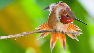 Feature photo: A show-off Rufous Hummingbird from Louisiana