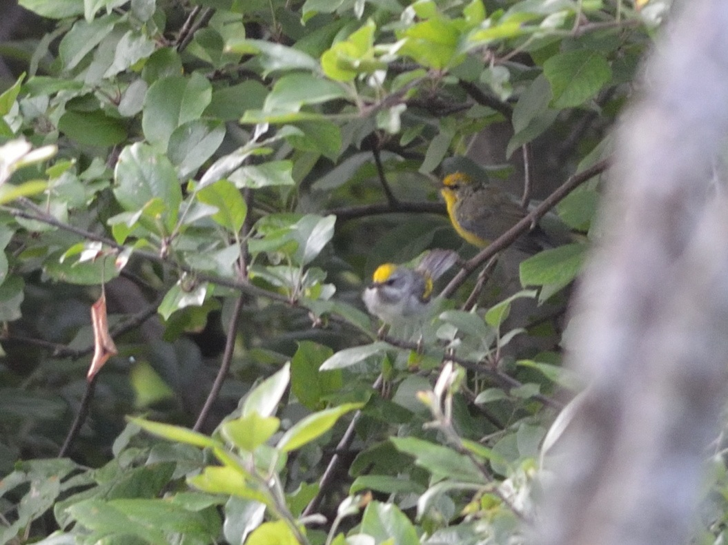 Golden-winged and Blue-winged Warblers