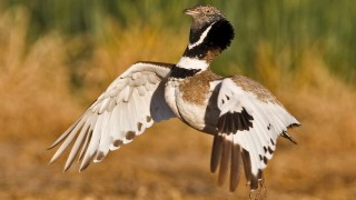 A new avian family tree places Little Bustard and its relatives in a group with