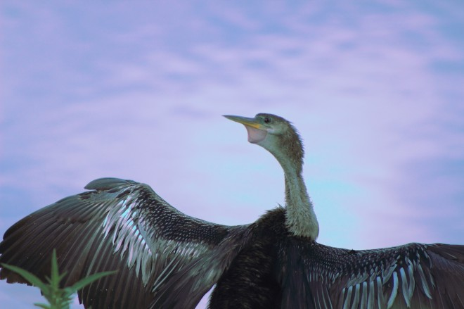 Anhinga-looking-back