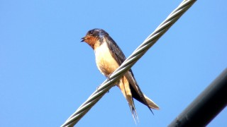 BARN-SWALLOW-BWD3