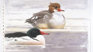 Barry Van Dusen, Mergansers at Deep River, 2003, watercolor on Arches cold pressed paper, courtesy of Leigh Yawkey Woodson Art Museum.