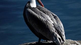 BirdWatching-Brown-Pelican-2014