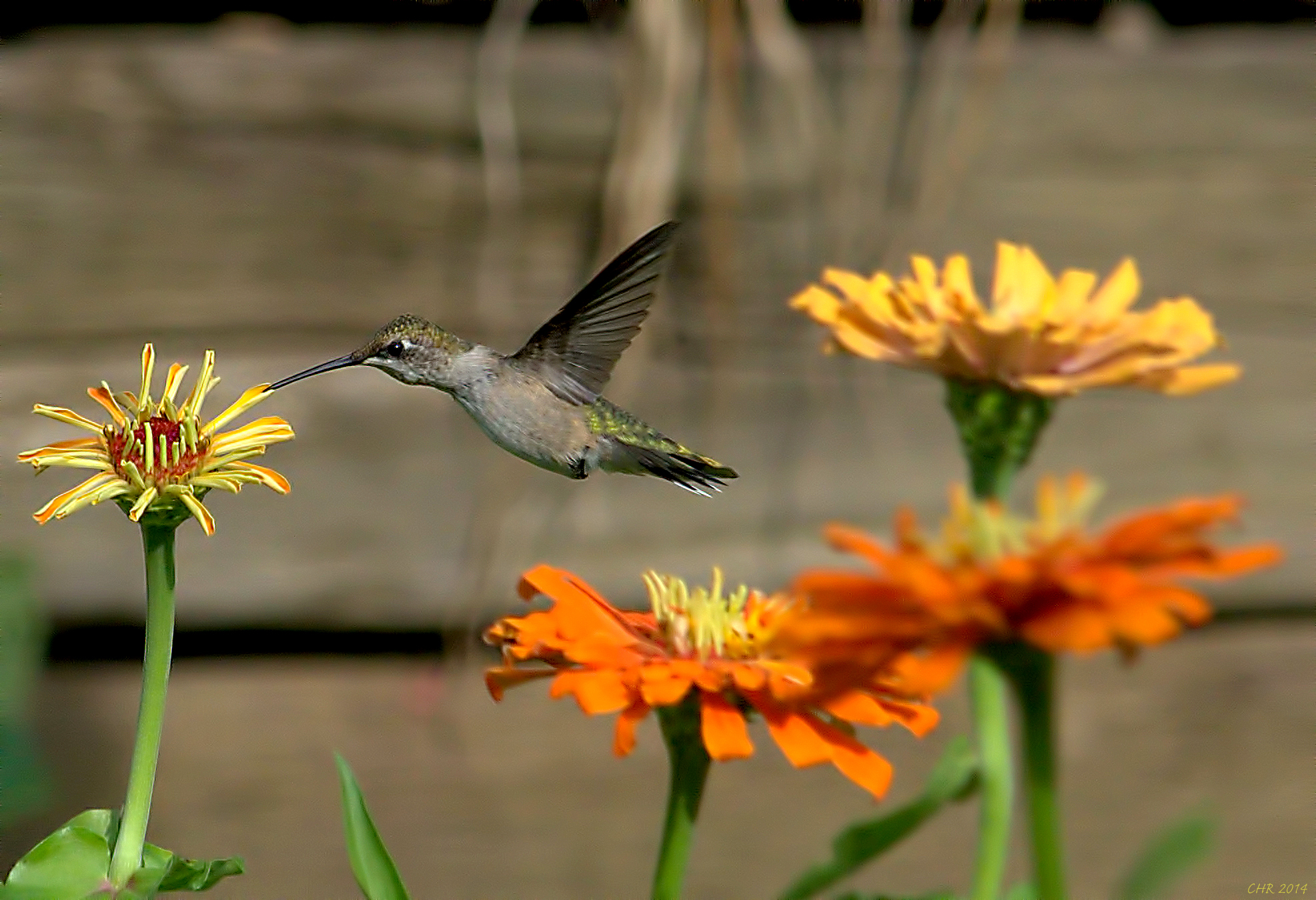 Ruby-throated Hummingbird - BirdWatching